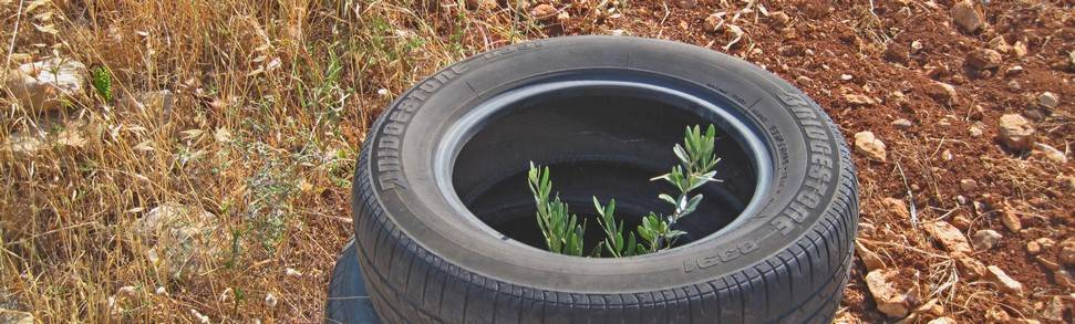 FONSA olive sapling protected by tyres in Twyel hamlet