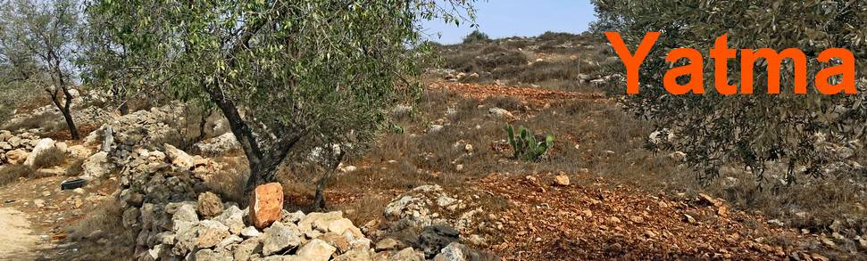 Olive grove in Yatma village