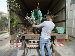 Olive trees being unloaded from van